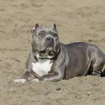 Everything you need to know about the Blue Nose Pitbull